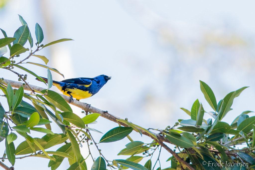 Turquoise Tanager (Tangara mexicana)