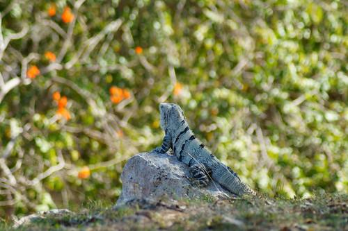 Iguana @ Uxmal