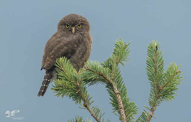 Bird of a Different Color (Northern Pygmy Owl)