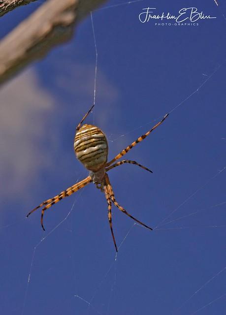 An Orb Spider