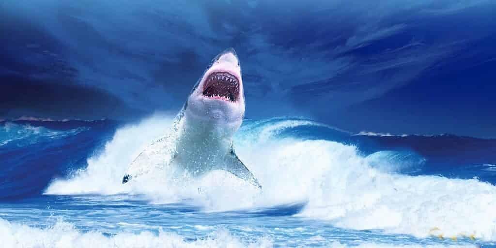 Le requin blanc est disparu de son lieux de prédilection