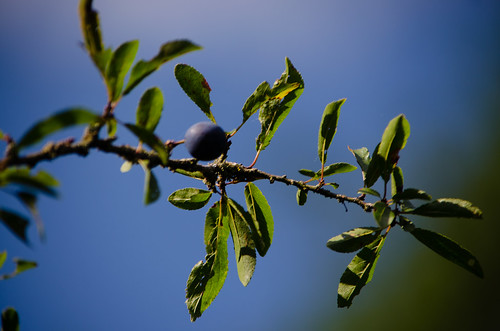 Sloes, Barley Field