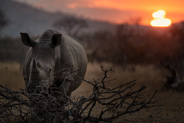 The killing: About 1000 rhinos are killed every year by poachers in South Africa.