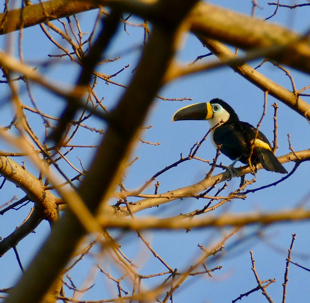 Channel-billed Toucan (Ramphastos vitellinus)