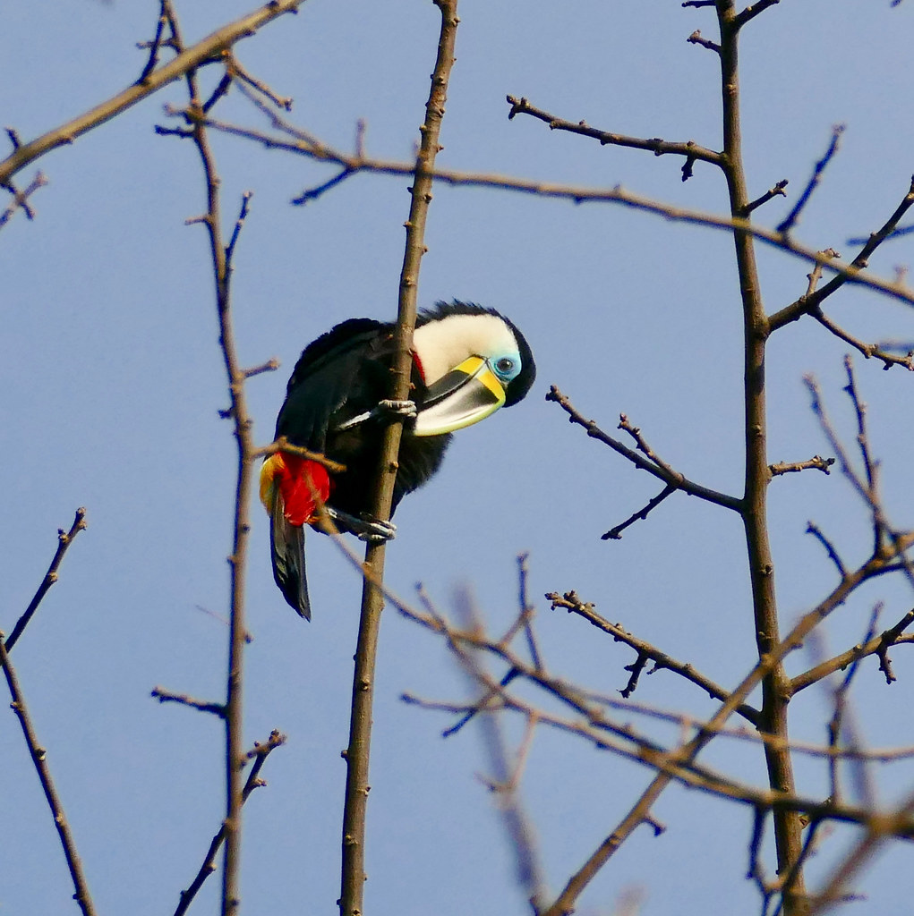 Channel-billed Toucan (Ramphastos vitellinus) preening ...