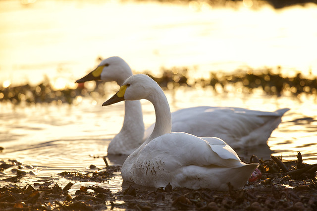 Swan in the evening 1