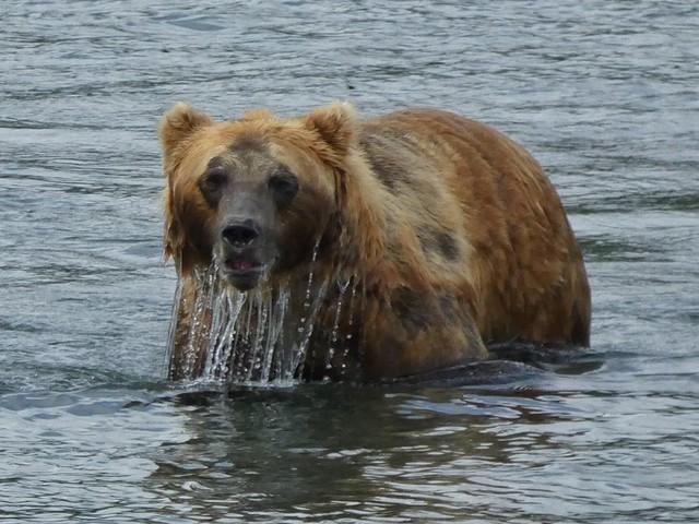 Oso pardo en Kamchatka (Rusia)