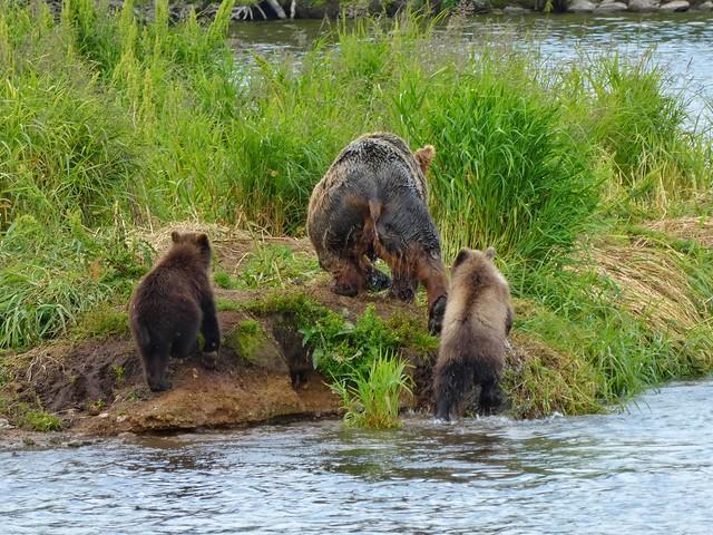 Hembra de oso con dos crías en el Lago Kuril de Kamchatka (Rusia)