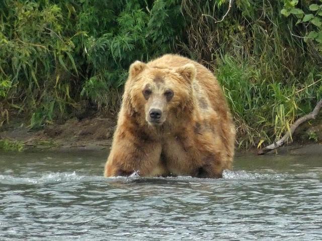 Gran oso pardo en el Lago Kuril (Kamchatka, Rusia)
