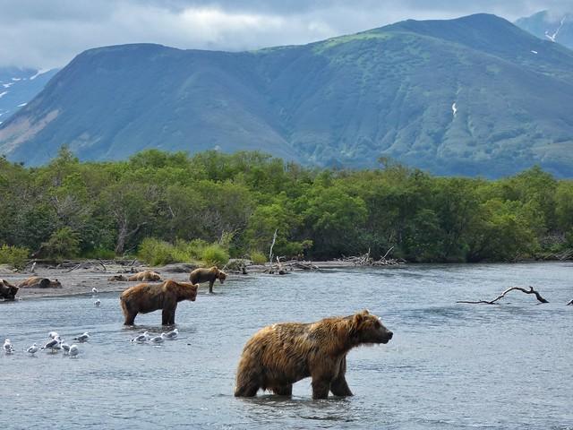 Osos pardos en el Lago Kuril (Kamchatka, Rusia)