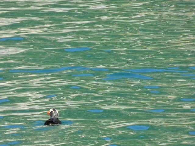Frailecillo crestado en la Bahía de Avacha (Kamchatka, Rusia)