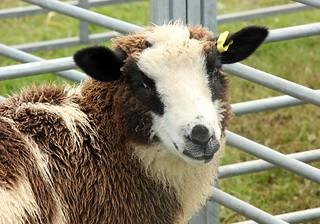sheep_portrait1