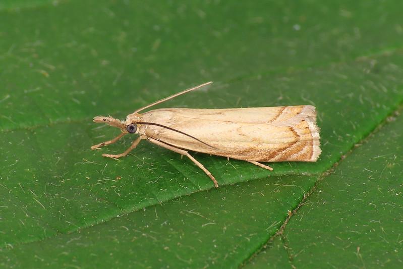 63.080 Garden Grass-veneer - Chrysoteuchia culmella