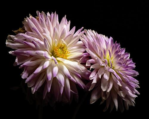 Purple White Dahlis Pair 1001