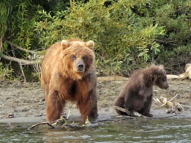 Hembra y cría de oso pardo en el río Bystraya de Kamchatka (Rusia)