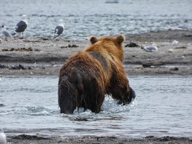 Oso pardo en Kamchatka