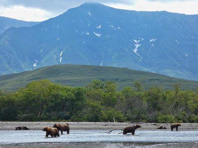 Osos pardos en el Lago Kuril de Kamchatka (Rusia)
