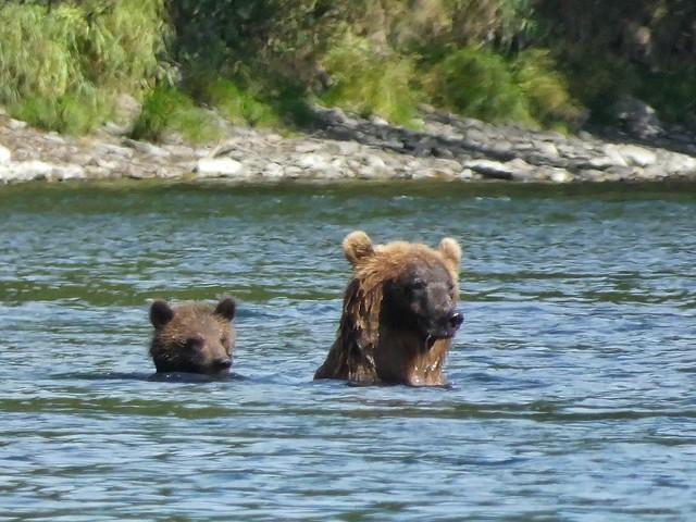 Osos cruzando el río Bystraya (Kamchatka)