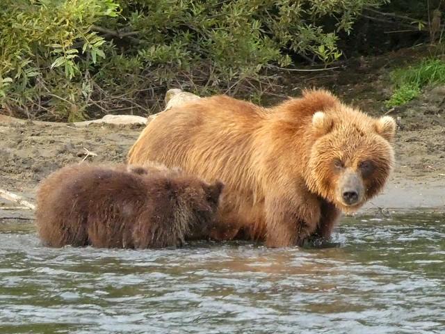 Hembra de oso con su cría cruzando un río.