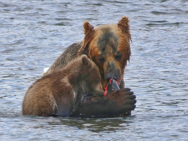 Hembra de oso con su cría comiendo salmón en el Lago Kuril (Kamchatka, Rusia)