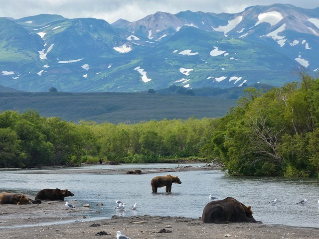 Osos en Kamchatka