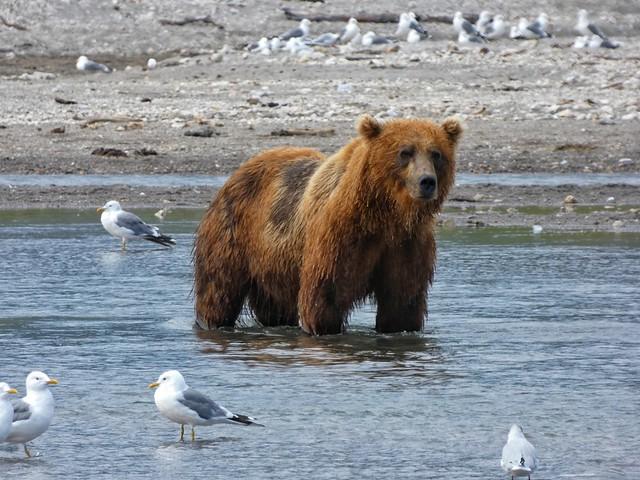 Oso pardo en el Lago Kuril (Kamchatka, Rusia)