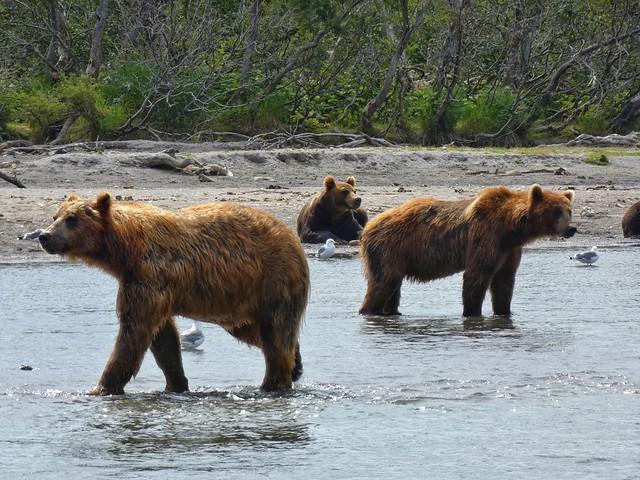 Osos en el Lago Kuril de Kamchatka (Rusia)
