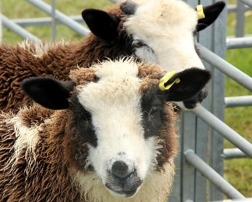 sheep_portrait2