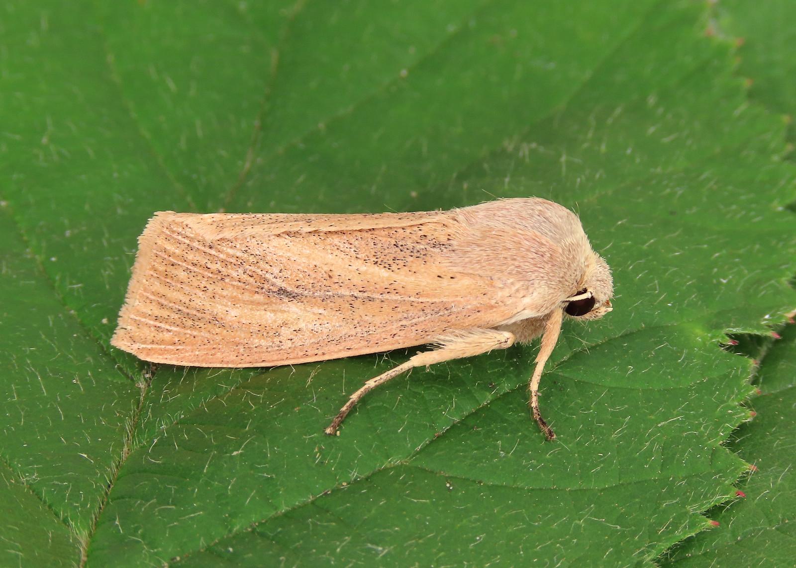 73.134 Large Wainscot - Rhizedra lutosa