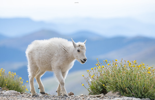 Mountain goat Cub
