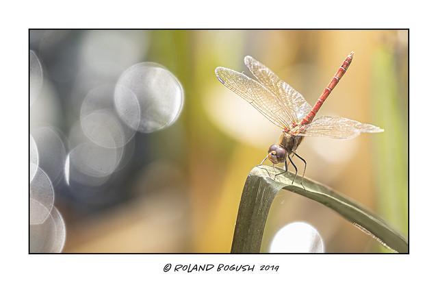 Common Darter (m) Dragonfly obelisquing in the bokeh