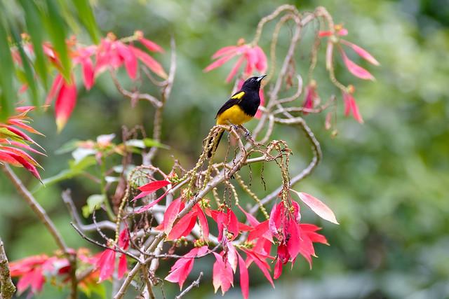 Black-cowled Oriole...Oriole monacal ..Costa Rica Album