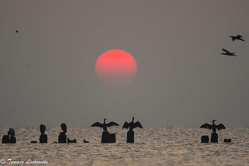 ngc sunrise baltic gulfofgdansk cormorants birds sea landscape nikon d500 poland polska babiedoły gdynia bird nature wings sun red