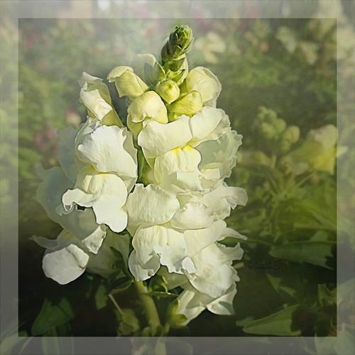 flowers 016096 snapdragon flower flora fleur white weiss photoborder plants pflanzen plant pflanze rahmen frame textures texturen texture textur outdoor outside ts2 topazstudio2 josephcampbell antirrhinum löwenmaul