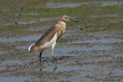 Javan Pond-Heron, Crabier malais