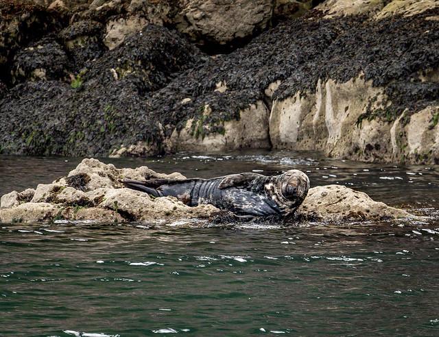 Atlantic Grey Seal at Babbacombe Bay, South Devon