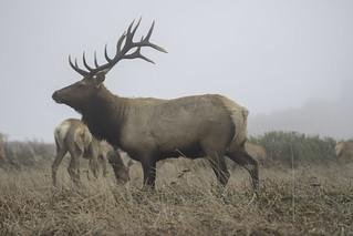 Bull Elk Prophile