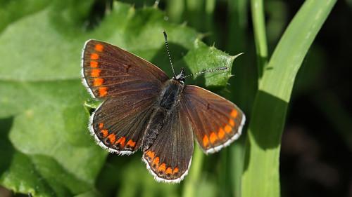 Brown Argus ~ Aricia agestis {explored}
