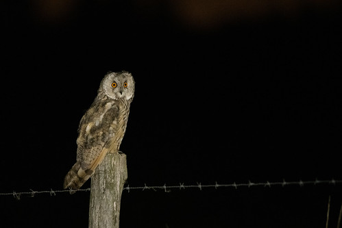 Long-eared owl - Asio otus - Ransuil