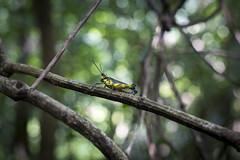 Giant grasshopper on Iriomote
