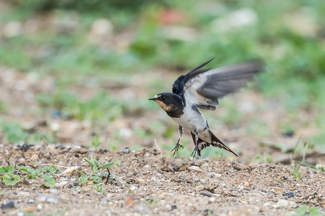 Swallow taking off