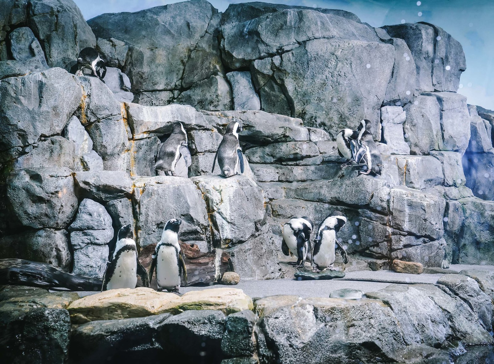 penguins at monterey bay aquarium
