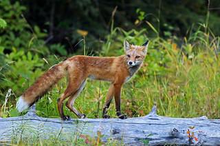 Female Red Fox Shedding Summer Coat