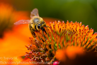 Coneflower and Bee 2 | by Kenjis9965