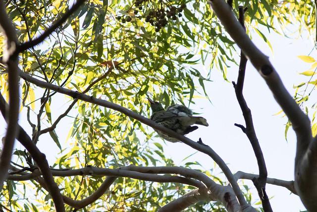 Olive-backed Oriole (Oriolus sagittatus)