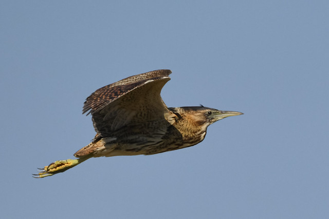 Bittern out hunting