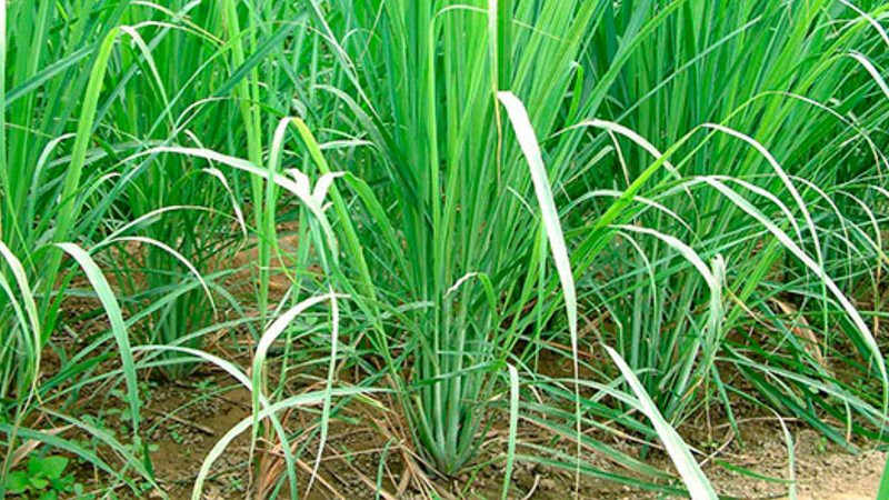 Lemongrass (Gavati Chaha) - Health Benefits - Uses & Side Effects