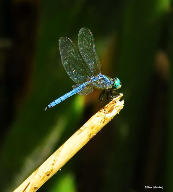 Blue Dasher 2138