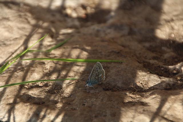 Ristikheina-taevastiib / common blue butterfly / Polyommatus icarus
