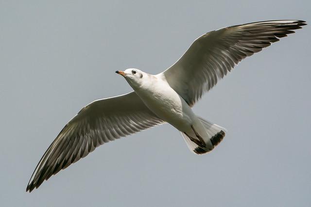 Black headed Gull......
